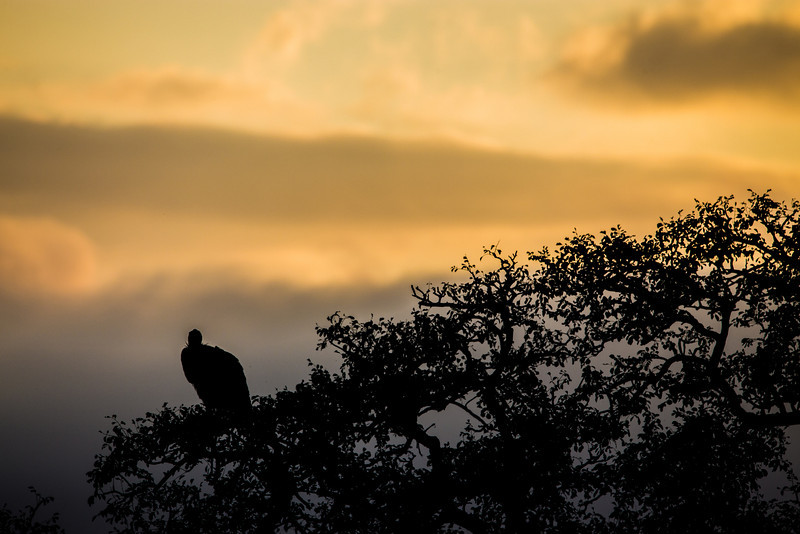 Vulture Silhoutte at Sunrise