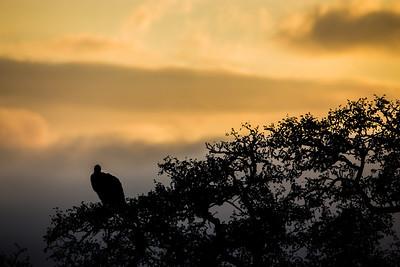 Vulture Silhoutte at Sunrise