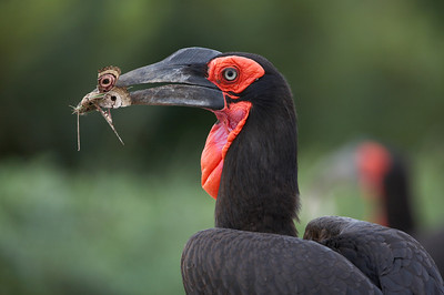 Ground hornbill (Bucorvus leadbeateri) Collecting food for chick, South Africa Jason Gallier