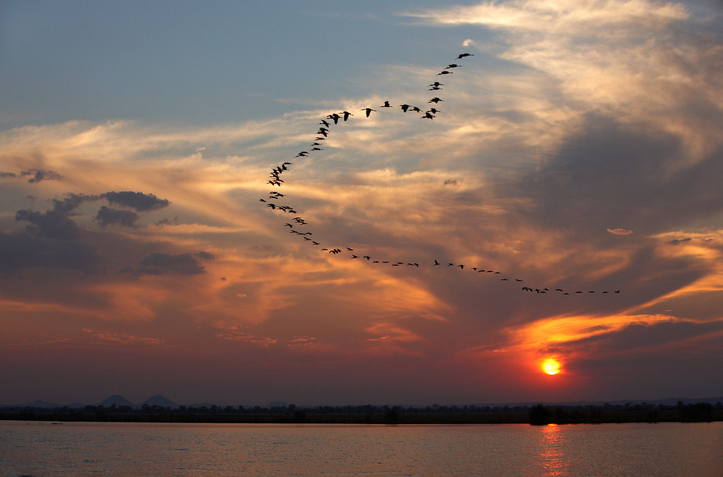 Cormorants flying back to overnight roost, along the Shire river, Malawi<br /> Jason Gallier