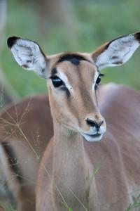 Impala in Soft Light
