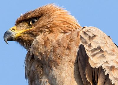 Tawny Eagle (Crop)