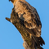 Tawny Eagle (Portrait)