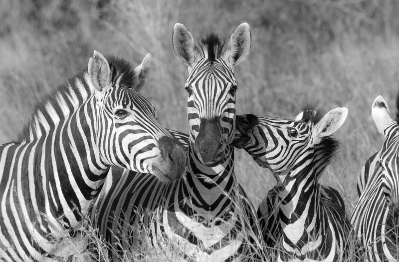 Zebra Faces (B&W)