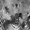 Zebra Faces (B&W)