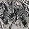 Zebra Trio (B&W)