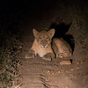 Lion Cub at Night