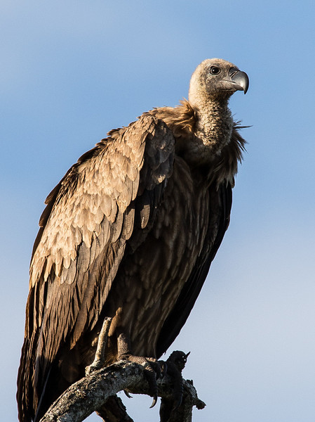 White-Backed Vulture in the Late Afternoon