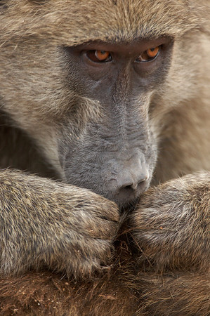 Chacma Baboon (Papio ursinus) Social Grooming, South Africa Jason Gallier