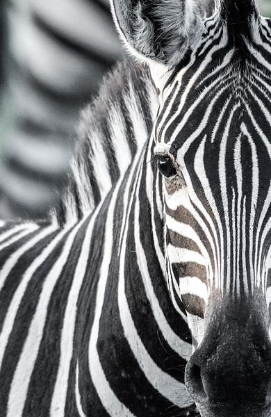 Zebra Portrait (B&W)