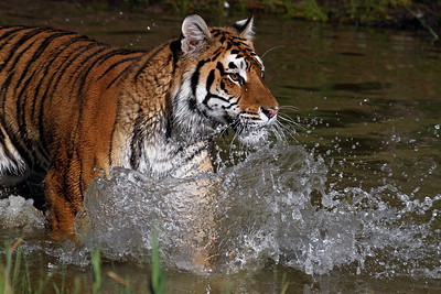 """Tiger Splash"""