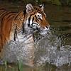 """""""Tiger Splash"""""""