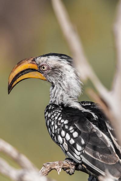 Angry Hornbill