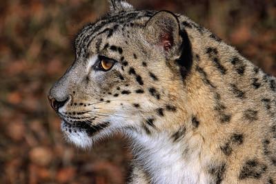 """Snow Leopard"""