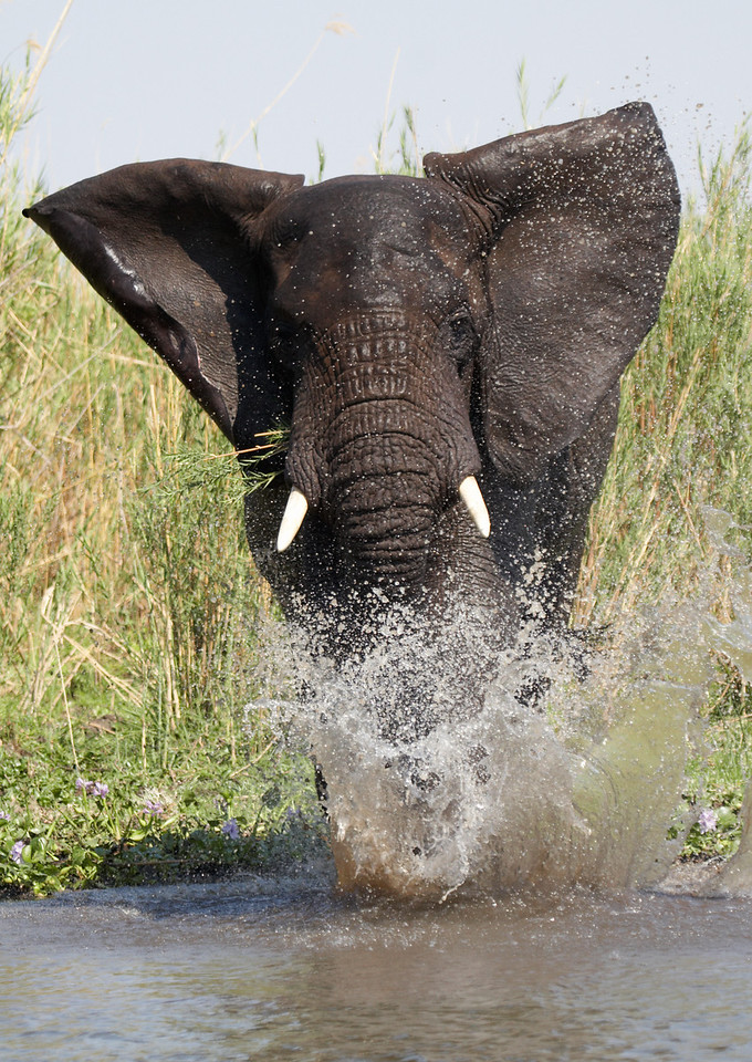 African Elephant (Loxodonta africana)<br /> Mock charge into water.<br /> Shire river in Liwonde, Malawi