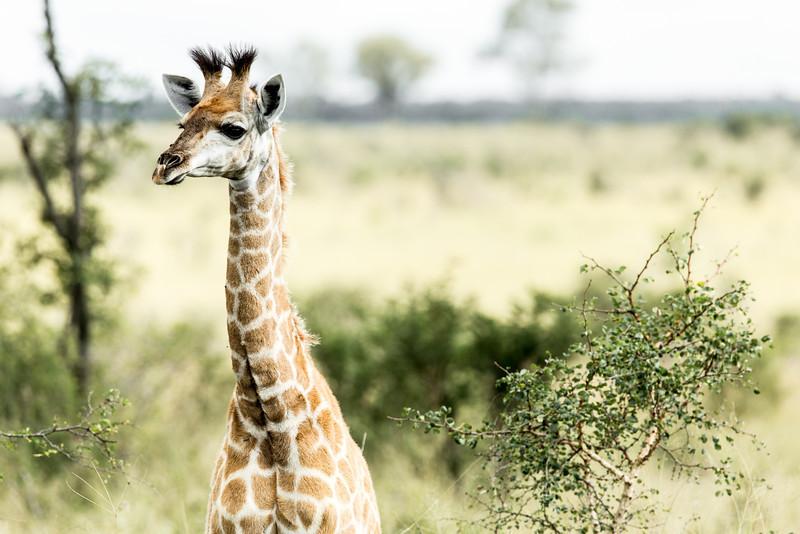 Young Giraffe Portrait