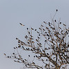 Swallows at Rest