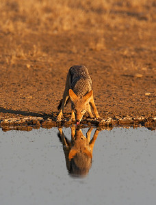 Black Backed Jackal (Canis mesomelas) Drinking at waterhole, Kgalagadi Transfrontier Park in Kalahari Desret, South Africa Jason Gallier - 1410