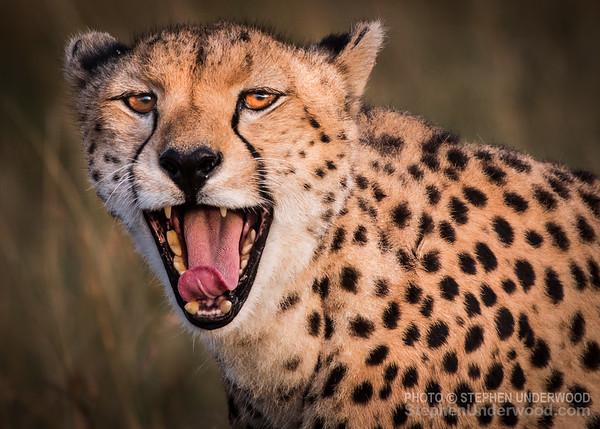 Yawning cheetah 'Malaika'