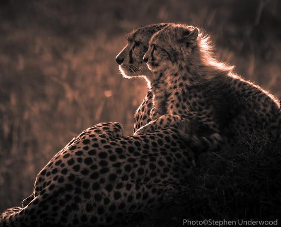 The cheetah 'Malaika' and cub