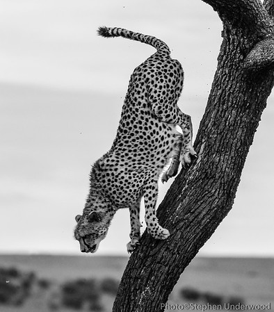 The cheetah 'Malaika'