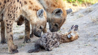 Spotted Hyenas and cub