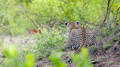 Leopard eyeing a meal