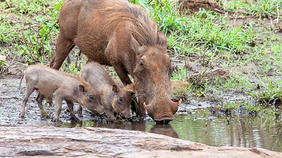 Warthog and cubs