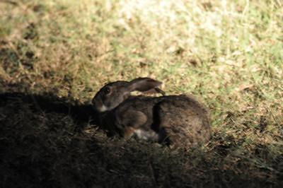 Kruger Hare