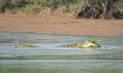 Kruger Park Crocodiles