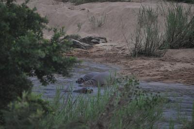 Kruger Park Hippos