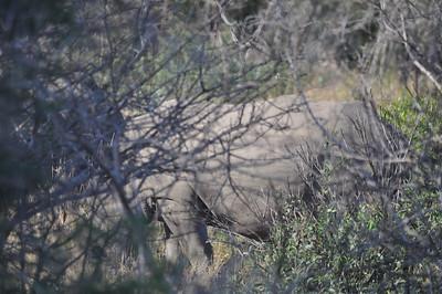 Kruger Park Rhinoceros