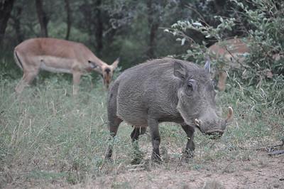 Kruger Park Warthogs