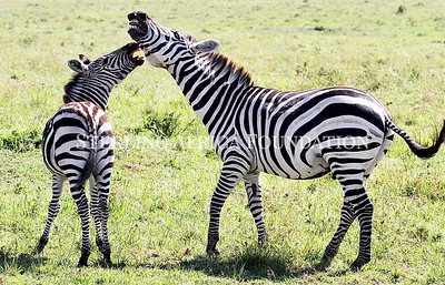 Two Zebras in conflict