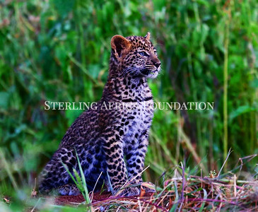 Young Beautiful Leopard