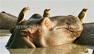 Hippo with Birds on his Head