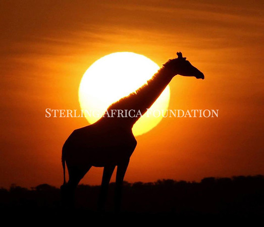 Giraffe in Sunset