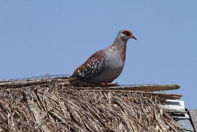 Speckled Pigeon / Kunda Madoa Nominate subspecies Columba guinea guinea Umoja Camp, Samburu County, Kenya 3 February 2016
