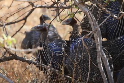Vulturine Guineafowl / Kicheleko Acryllium vulturinum Family Numididae Samburu National Reserve, Samburu County, Kenya 4 February 2016
