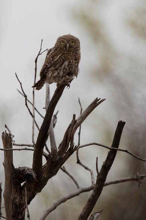 African Barret Owlet