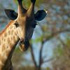 Giraffen Kåre - Kåre the Giraffe (Foto: Geir)