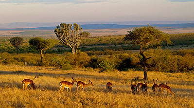 Gyllent landskap. Impana ved soloppgang i Masai Mara, oktober 2007. *** Golden landscape. Impalas at sunrise in Masai Mara, October 2007. (Foto: Geir)