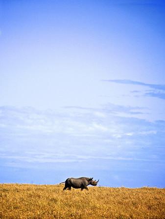 Ensomt krek. Det svarte neshornet er et av de mest utrydnignstruende dyrene på den afrikanske savannen. Alt sammen bare pga manglende potens hos asiatiske mannfolk. Det skal bare være fem stykker igjen av denne arten i Masai Mara, og Kenya generelt har max et par hundre svarte neshorn igjen. Er denne fyren på vei ut historiens dør? Masai Mara, oktober 2007. *** Lonely creature. The Black Rhino is one of the most threatened mammals out there, all because of the lack of virility of Asian males. There are only five black rhinos left in Masai Mara, and species as a whole consists of a few hundred. Is this fella heading for History's exit? I wouldn't hope so. Masai Mara, October 2007. (Foto: Geir)
