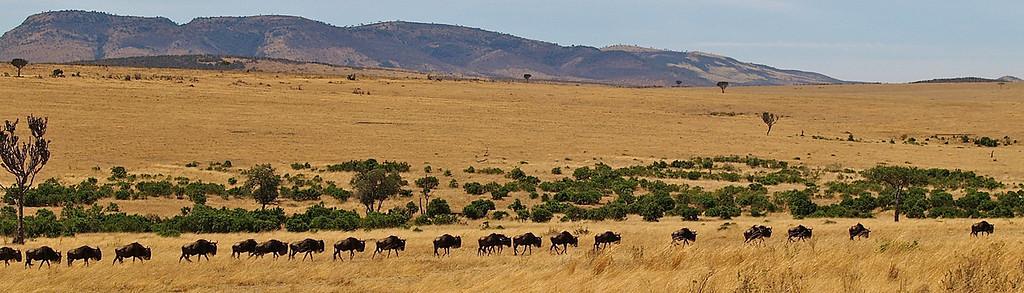På vei hjem. Gnu i Masai Mara kjenner på kroppen at de skal hjem til Serengeti. Masai Mara, oktober 2006. *** Heading home. Wildebeest in Masai Mara finding their way home to Serengeti. Masai Mara, October 2006. (Foto: Geir)