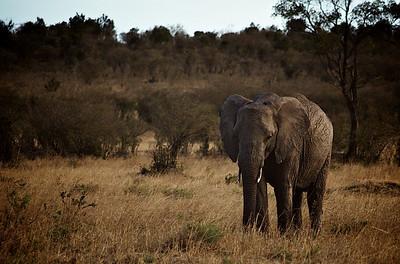 Ung beist i solrenninga. Masai Mara, oktober 2006. *** Young beast at sunset. Masai Mara, October 2007. (Foto: Geir)