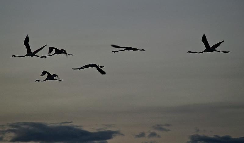 Fri flukt mot noe ukjent. Pelikaner i fri flukt over Naivashasjøen i kveldslys. Naivasha, oktober 2006. *** Free flight towards something unknown? Flamingos in across Lake Naivasha, October 2006. (Foto: Geir)