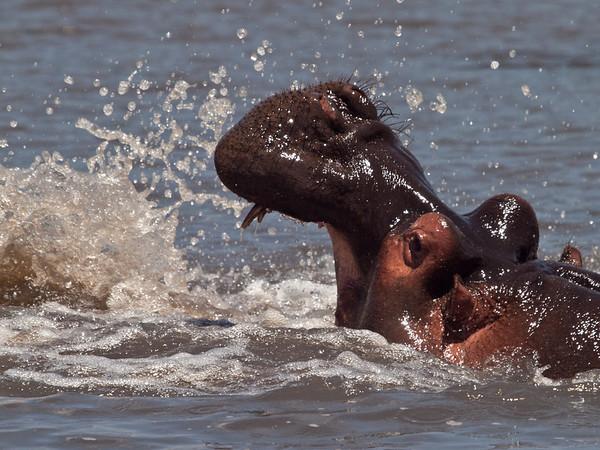 Flodhest brisker seg i Ngorongorokrateret (Foto: Ståle)*+