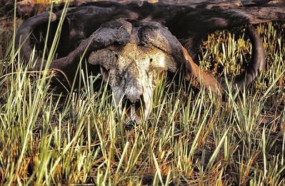 Delta d'Okavango - Crâne de buffle
