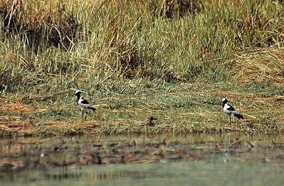 Delta d'Okavango - Pluviers