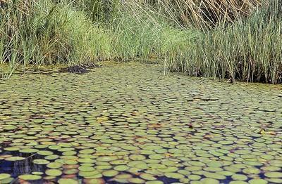 Delta d'Okavango - Nénuphars